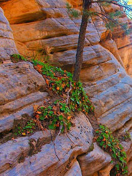IMG_1259-Ivy-plant-on-sand-stone-in-Spri