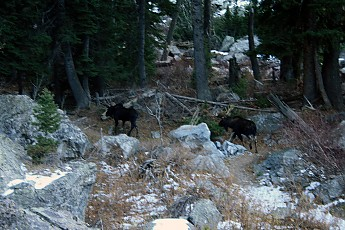 A-cow-and-bull-moose-seen-in-Granite-Can