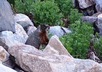 Hoary-Marmot-N-Cascade-Canyon-GTNP-WY.jp
