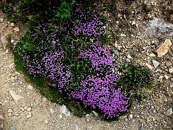 High-alpine-flowers-at-9000-feet-in-N-Ca
