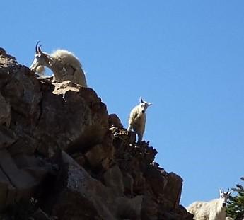 Rocky-Mtn-Goats-near-Paintbrush-Divide-G