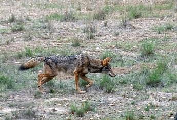 Coyote2.jpg