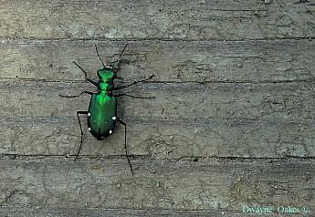 g-tiger-beetle.jpg