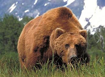 large_brown_bear_kodiak.jpg
