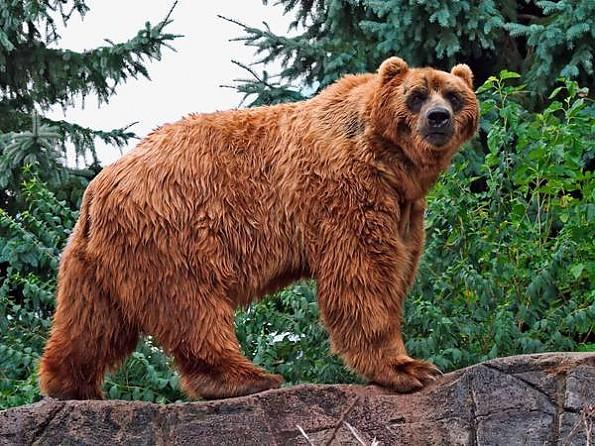 kodiak-bear.jpg