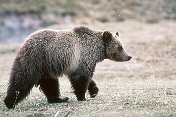 Yellowstone-Grizzly-Bear.jpg