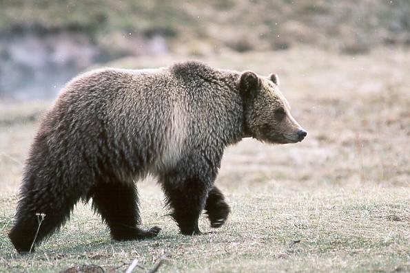 Yellowstone-Grizzly-Bear.jpg
