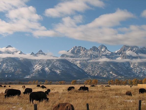 Bison-at-Mormon-Row-GTNP-WY.jpg