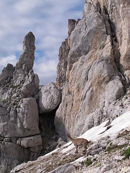 Bouquetin-below-summit.jpg