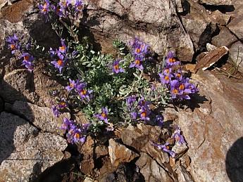 Linaria-alpina.jpg