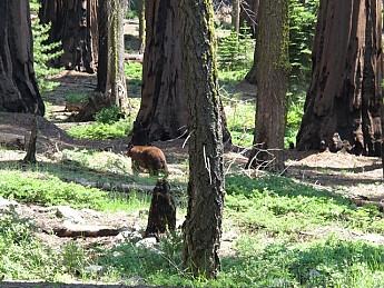 Bigtree-bear.jpg