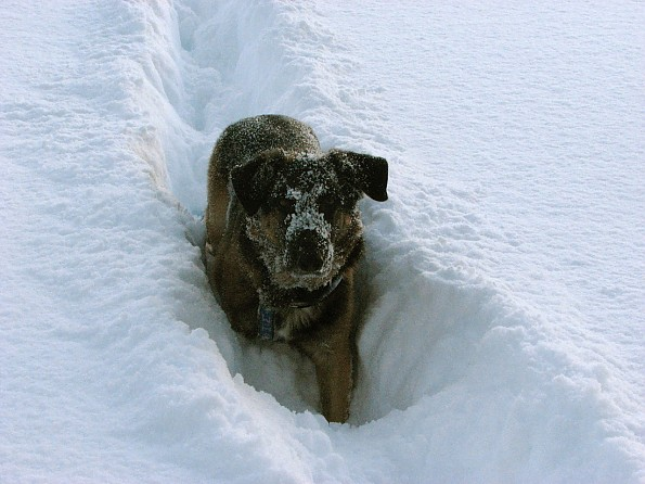 Ralph-digs-snow.jpg