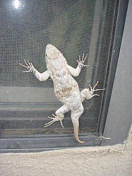 A-large-6-inch-lizard-on-the-Glenwood-Li