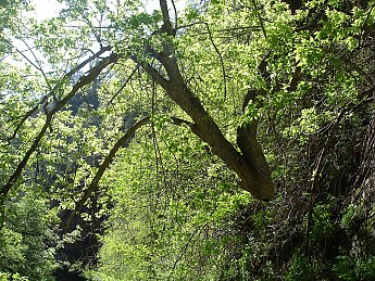 The-elbow-tree-West-Oak-Creek.jpg