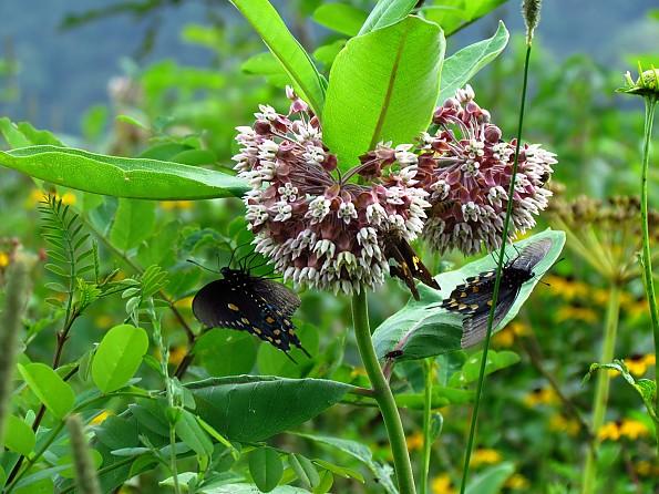 RH---Butterflies-near-Stan-Murray.jpg
