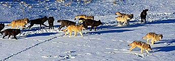 Wolves-of-Yellowstone.jpg
