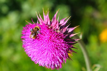 IMG_3132-Bumblebee-on-Thistle-weed-flowe
