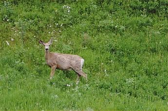 deer6.jpg