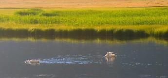 IMG_3011---Trumpeter-Swans-on-Flat-Creek