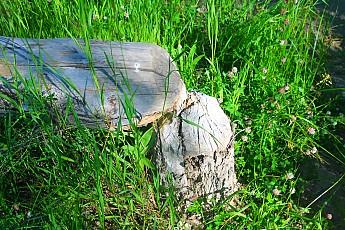 IMG_3033-A-beaver-cut-tree-stump.jpg