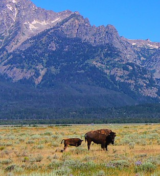 IMG_3051---A-Bison-and-her-calf-in-Grand