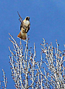 2343-Red-Tailed-Hawk-along-Spring-Creek-