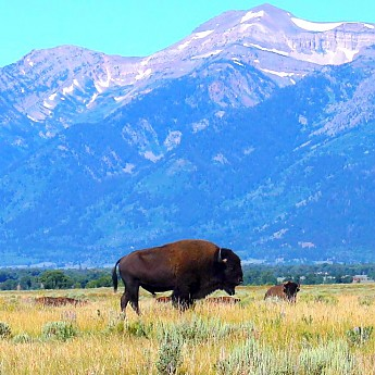IMG_3053---The-American-Bison-of-Wyoming