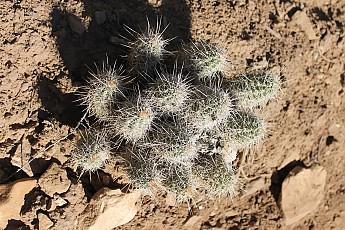 Teddy-Bear-Cacti.jpg