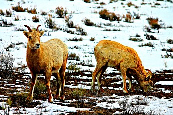 IMG_2176-Pair-of-Big-Horn-Sheep-Ewes-on-