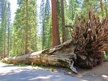 Fallen-Sequoia.jpg