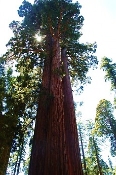 Mariposa-Grove-Giant-Sequoia.jpg