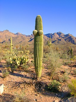 03-Must-be-a-female-Saguaro-Lower-Sabino