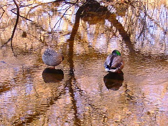 16-Mame-and-pappy-Mallard-Duck-Sabino-Cr