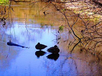 17-Mallard-shadows-Sabino-Creek-3-2-13-0